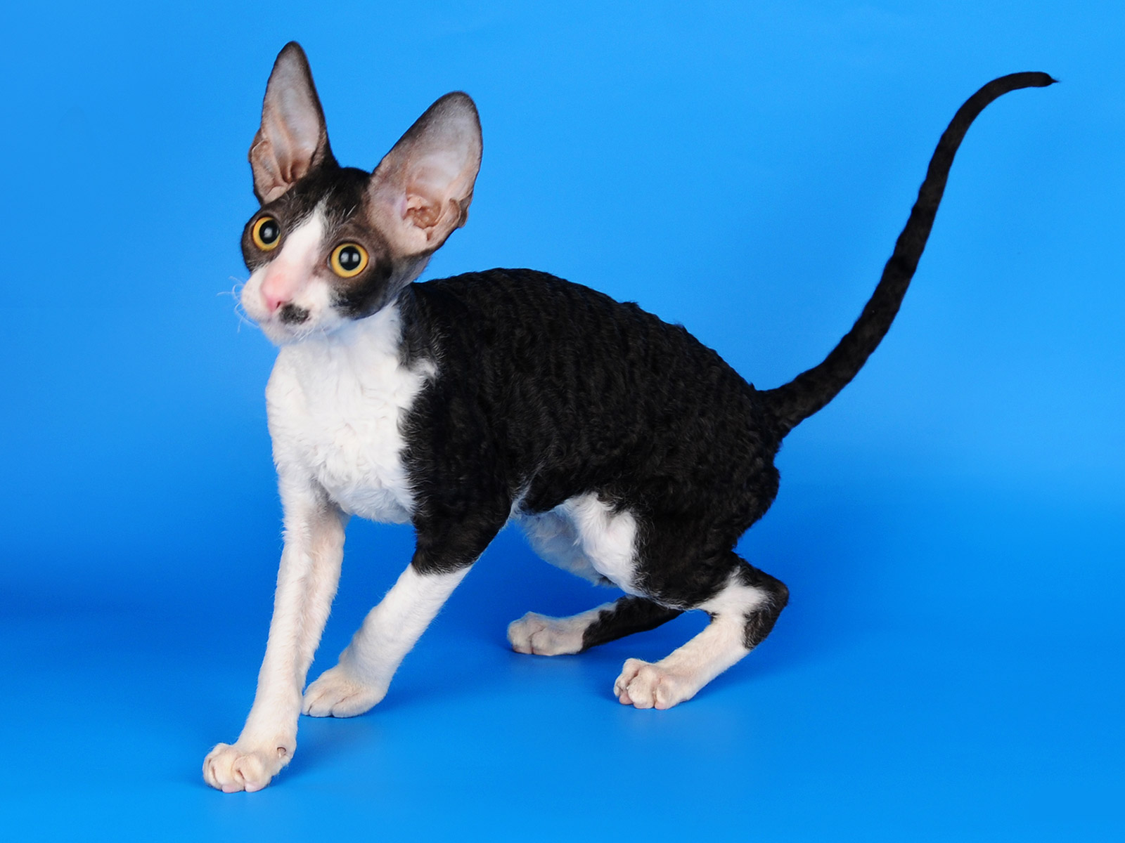 kot-ZURICH MAGIC STAR Cornish Rex cat, CUTIE COIL