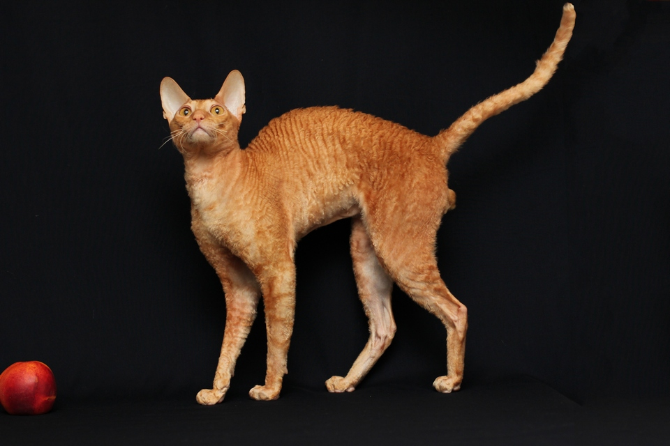 Cornish Rex cat Hibird (4)