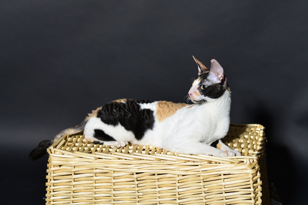 Cornish Rex cat DARINA
