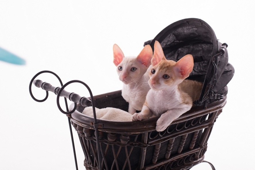 cornish rex Minsk