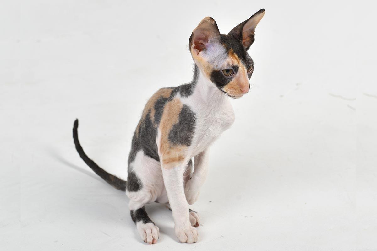 Котенок корниш-рекс - переезд в новый дом - питомник Cutie Coil