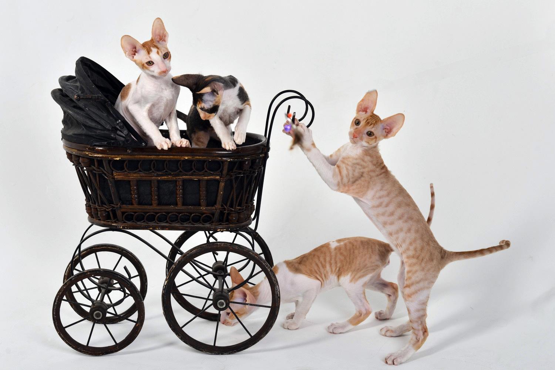 Котята корниш-рекс играют в коляске - питомник Cutie Coil