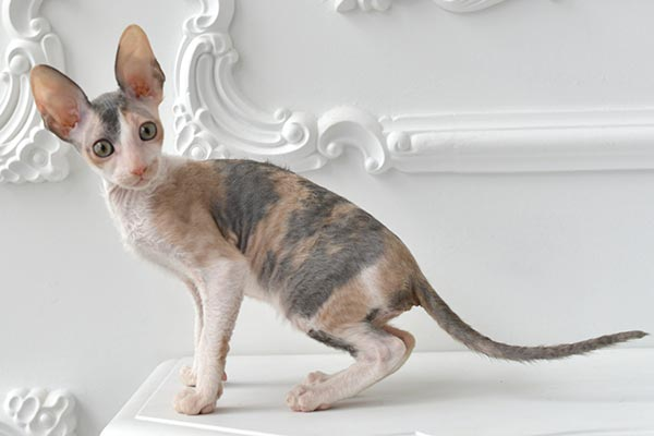 Информация о котят корниш-рекс питомника Cutie Coil