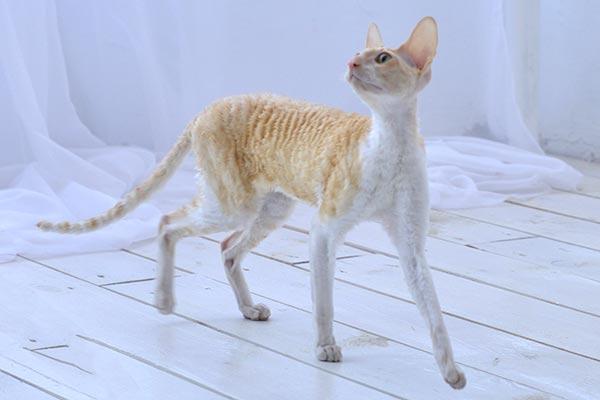 Информация о кошках корниш-рекс питомника Cutie Coil